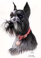 Schnauzer Shirts $17.95    This looks just like our boy, Ty when he was younger.  RIP Ty - we love you and miss you!