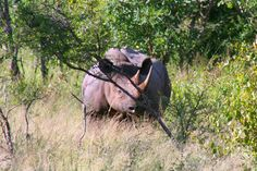 Kruger National Park in Kruger Park, Mpumalanga. The largest game reserve in South Africa, the Kruger National Park is larger than Israel. Kruger National Park, National Parks, Game Reserve, South Africa, Animals, Art, Art Background, Animales, Animaux