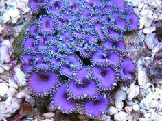 PURPLE DEATH Palythoa Zoanthids Zoa Chalice Acro Live Coral Saltwater Aquarium