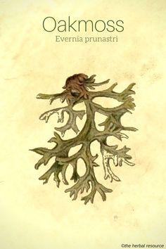 Oakmoss - Evernia prunastri