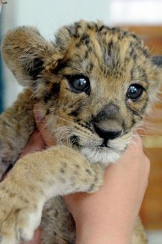 Rawr! He'll be king of the jungle one day, but for now he's an impossibly cute lion cub.