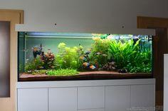 Image result for rainbowfish aquarium