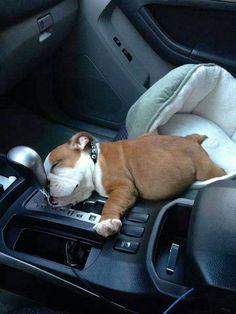 insolite chiot copilote endormi levier vitesse