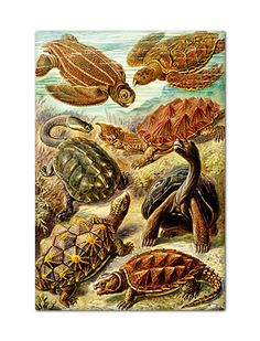 Ernst Haeckel Art Print:Chelonia Shower curtain with a Vintage illustration nature Chelonia. biology print by Ernst Haeckel. A variety of exotic turtles and tortoises swimming in the ocean. And walking on the sea floor. Sea Turtle Art, Turtle Love, Sea Turtles, Turtle Shells, Chelydra Serpentina, Ernst Haeckel Art, Poster Digital, Natural Form Art, Snapping Turtle