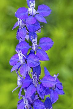 bluedelphinium