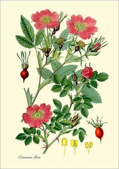 Botanical print.