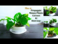 How to Propagate Money Plants Best Air Purifying Plants, Lucky Plant, Pothos Plant, Money Plant, Propagating Succulents, Money Trees, Orchid Plants, Propagation, Cuttings