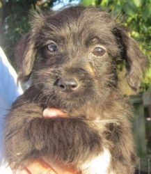 Schnoodle 4 is an adoptable Poodle Dog in Kansas City, KS. Please contact Debbie 913-707-5111 ( ffalpets@yahoo.com ) for more information about this pet. These little snoodles, schnauzer poodle, were ...