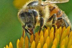 Подробнее: Эхинацея и мед: детям подойдет?