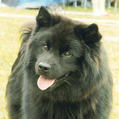 Uki for my novel, Swedish Lapphund Spitz Type Dogs, Black Chow Chow, Funny Animals, Cute Animals, German Spitz, Rare Dog Breeds, Crazy Dog Lady, Snow Dogs, Dogs And Puppies