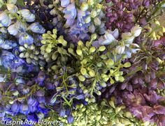 Delphinium Hybrid purple lavender white blue Lavender Flowers, Cut Flowers, Champagne Flowers, Delphinium, Purple, Blue, Seasons, Cream, Plants