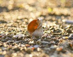 Deniz kabuğu Tirebolu Plajı