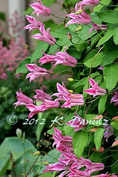 Clematis texensis 'Duchess of Alban:'