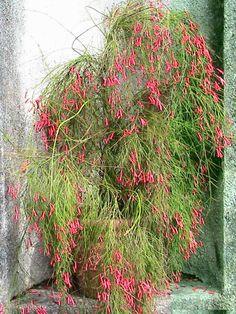 Russelia equisetiformis | Jardim das Ideias STIHL - Dicas de jardinagem e paisagismo