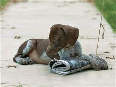 paper_pup | PoochPics.org | kennels, german_shorthaired_pointers, starter_dogs