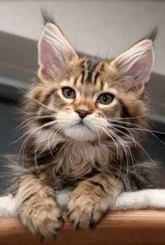 . http://www.mainecoonguide.com/fun-facts-maine-coon-cats/