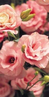 Reminding myself that I love lisianthus (eustoma grandiflorum)