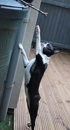 "Peggy the Boston Terrier::: ""Give me this stick. I almost have it, if I can only stretch a little bit more."" Lorr"