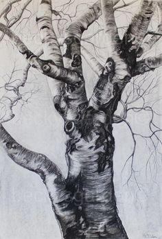 Tree Bark Drawing Birch