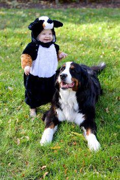 Halloween Bernese Mountain Dog costume #cute #dog #baby