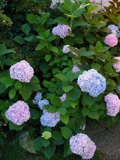 O zahradě - Gardening: Hortenzie / Hydrangeas Hydrangeas, Limelight Hydrangea, Hydrangea Macrophylla, Hydrangea