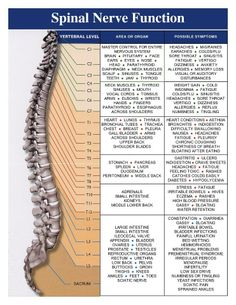 Chiropractic, Back Pain, and the Nerve System – A Philosophy of Health Corps Yoga, Spinal Nerve, Spine Health, Medical Anatomy, Spinal Cord Injury, Body Anatomy, Chiropractic Care, Chiropractic Center, Chiropractic Office