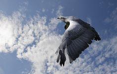eagle full hd, 429 kB - Parish Walter