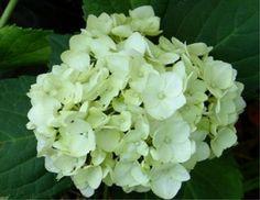 Hortensia macrophylla 'Lanarth White - Recherche Google
