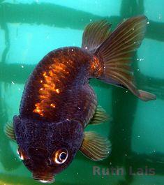 My Chocolate Ranchu Goldfish