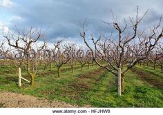 rows in bloom; Rows of blooming cherry trees in an orchard - Stock Photo