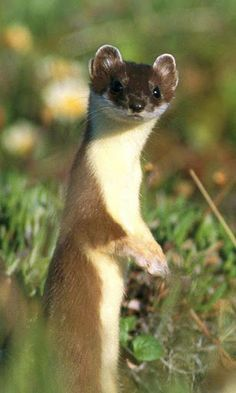 I saw my first weasel tonight! He looked just like this! SO CUTE!