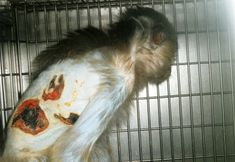 The Centers for Disease Control and Prevention (CDC)—which imprisons thousands of animals—has a long history of violating federal animal welfare laws & guidelines. Not long ago, PETA released disturbing leaked photos of monkeys at CDC labs who suffered third-degree burns over their arms & backs as a result of incompetence & negligence.