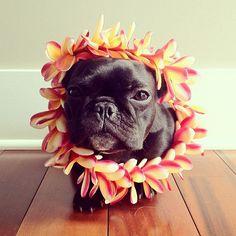Retratos de un Bulldog frances - Friki.net
