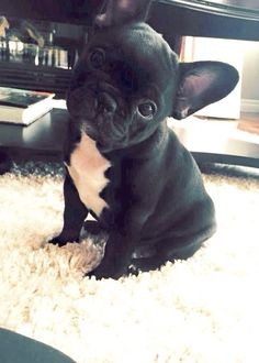 French Bulldog Puppy:heart: @KaufmannsPuppy