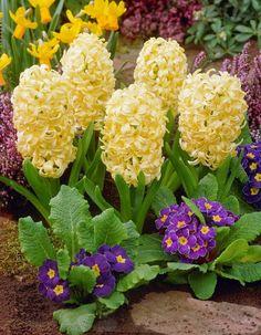 Hyacinthus orientalis Yellow Hammer