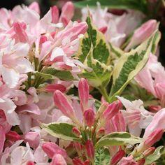 Weigela floribunda Variegata