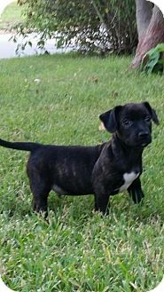 East Hartford, CT - Bulldog/Chihuahua Mix. Meet Simon meet me 9/25, a puppy for adoption. http://www.adoptapet.com/pet/13881054-east-hartford-connecticut-bulldog-mix