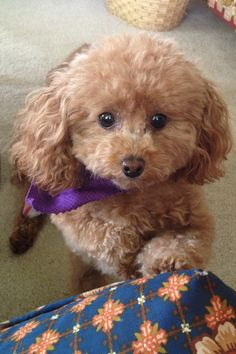 Woof woof ... Please, may I sit on the sofa ? Apricot toy poodle.