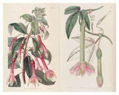 fuchsia-passiflora