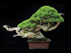 """Looking for a #bonsai shop near you? Try our """"Bonsai trees for sale"""" list…"""