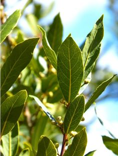 Cómo cultivar laurel en tu huerto o jardín ecoagricultor.com
