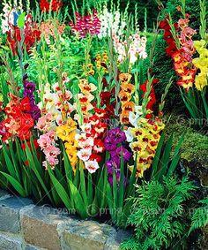 Garden Bulbs, Home Garden Plants, Planting Bulbs, Planting Flowers, Gladiolus Flower, Plantation, Flower Seeds, Dream Garden, Garden Projects