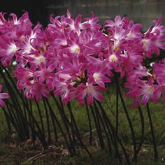 Naked Ladies Flowers