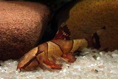https://www.google.be/Homaloptera parclitella