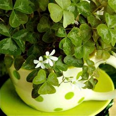 Shamrock Plant or Lucky Clover - perfect as a house plant with heart shaped leaves & pretty white flowers. A gift for someone you love. Grow it up in a creative planter like a cup & saucer, vintage watering can or basket. More ideas @ http://themicrogardener.com/clever-plant-container-ideas/ | The Micro Gardener
