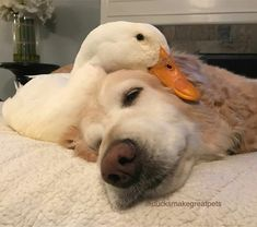 Some Helpful Ideas For Training Your Dog – One Boutique Pato Animal, My Animal, Cute Animal Pictures, Dog Pictures, Animals And Pets, Funny Animals, Pet Ducks, Baby Ducks, Cute Ducklings