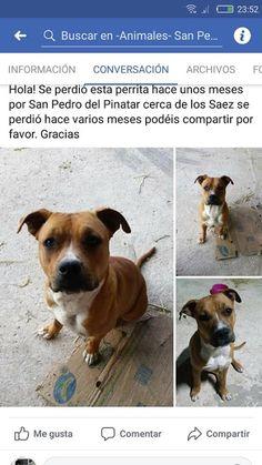Animales Perdidos y encontrados. Murcia: TURCA,  AMERICAN STANFORD PERDIDA/ROBADA EN SAN PE...