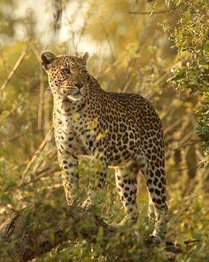 Photo by @argonautphoto (Aaron Huey). A female #leopard in the #OkavangoDelta, Botswana.  #MoremiGameReserve