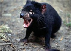 tasmanian devil   (learn more about tasmanian devils fantastic nature and their facial tumour problem on http://en.wikipedia.org/wiki/Devil_facial_tumour_disease )