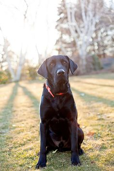 black labrador: now this looks like sampson! first one I've seen that actually looks identical to him!